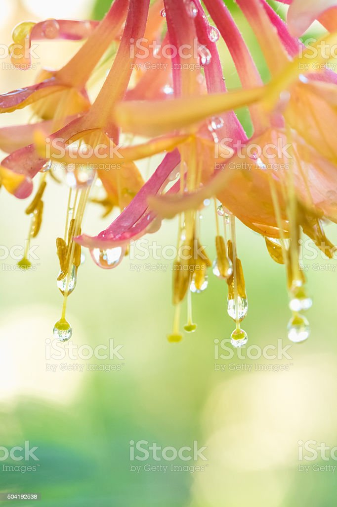 Pink Honeysuckle Flower Blossom With Sparkling Raindrops Of Water stock photo