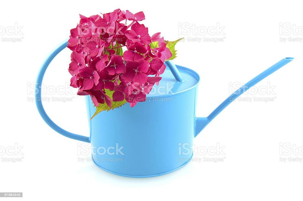Rose hortensia avec Arrosoir bleu photo libre de droits