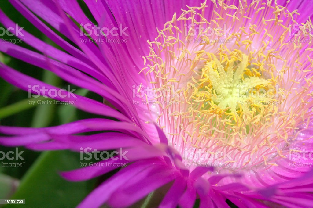 Pink Hottentot flower (lat. Carpobrotus Alinaciformis) stock photo