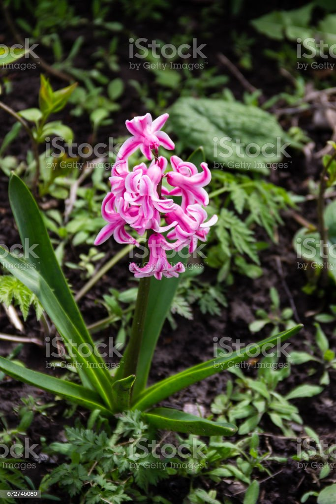 Pink hyacinth in garden stock photo