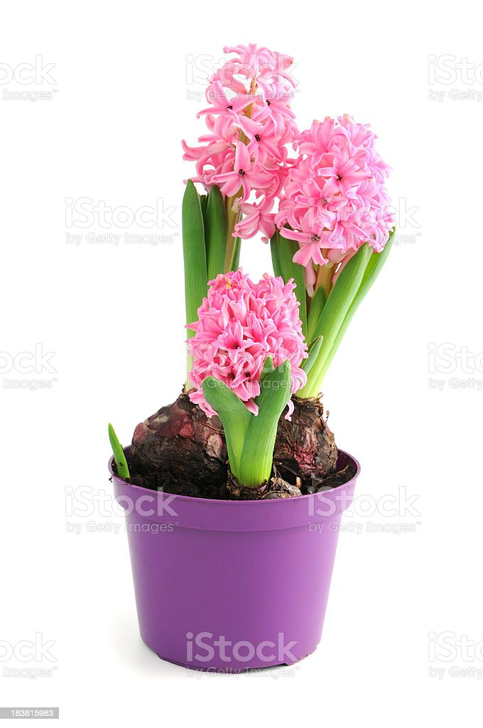 pink Hyacinth in purple flower pot (Hyacinthus) on white background stock photo