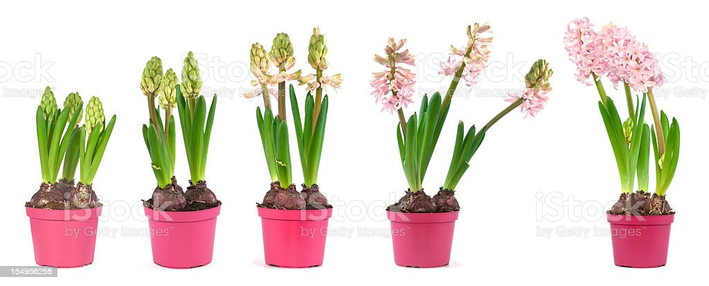 pink hyacinth Stages of growth royalty-free stock photo