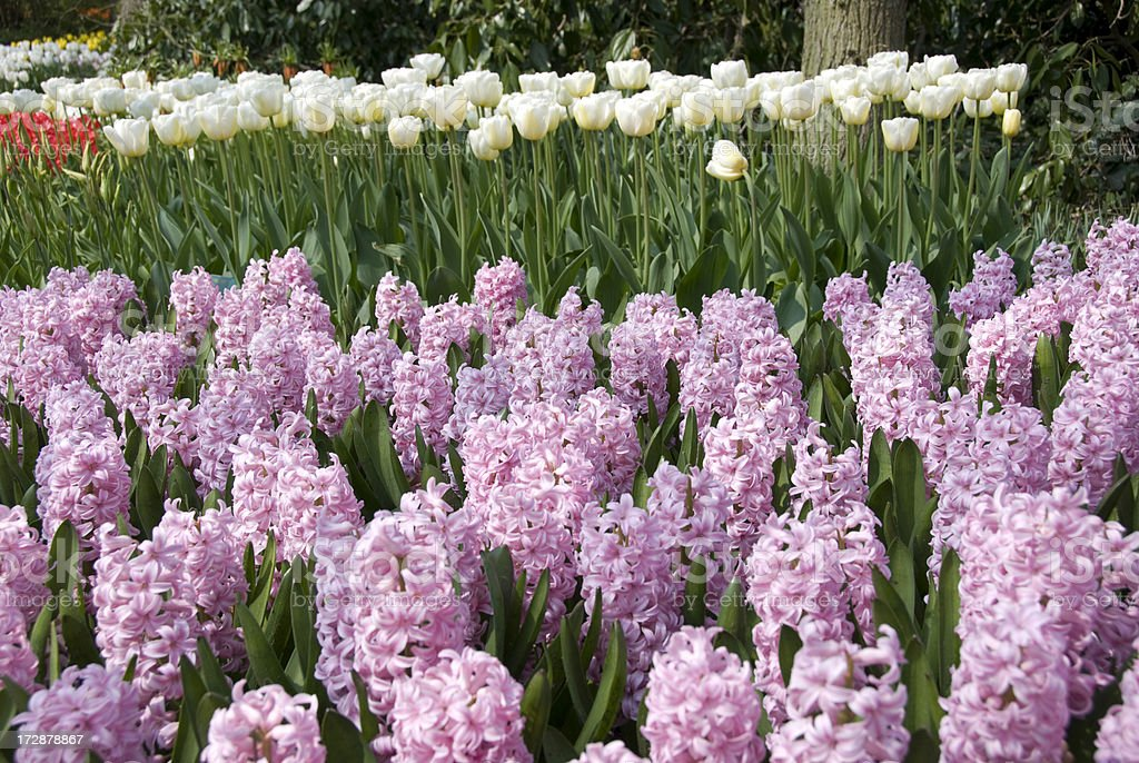 Pink Hyacinth & While Tulips royalty-free stock photo