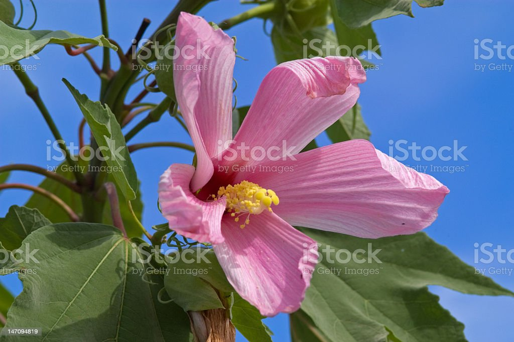 Pink Hybiscus and Blue Sky royalty-free stock photo
