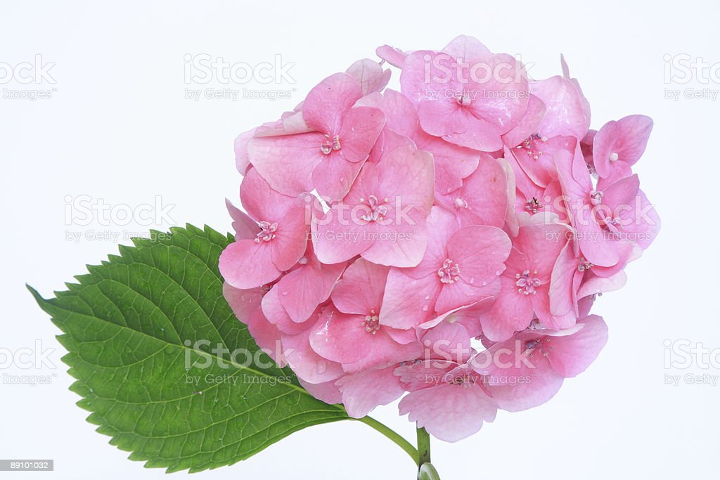 Pink hydrangea flower and green leaf royalty-free stock photo
