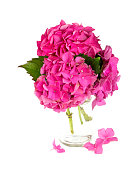 pink hydrangea flower in vase isolated on white
