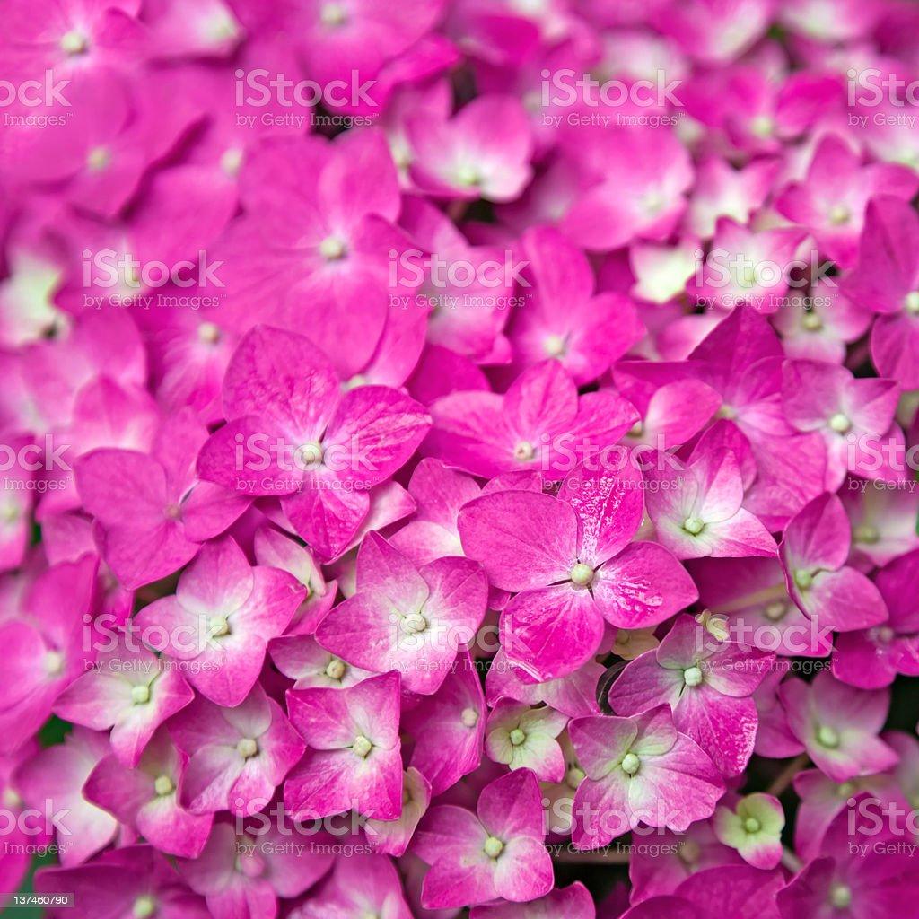 Pink Hydrangea flower royalty-free stock photo