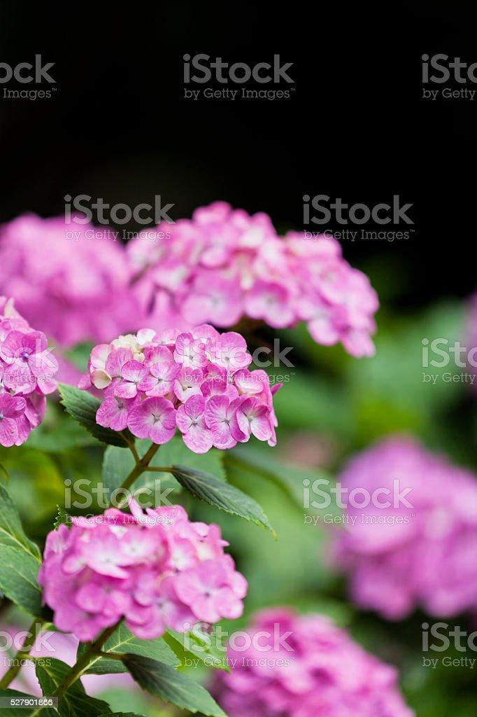 Pink Hydrangea Flowers Against Dark Background stock photo