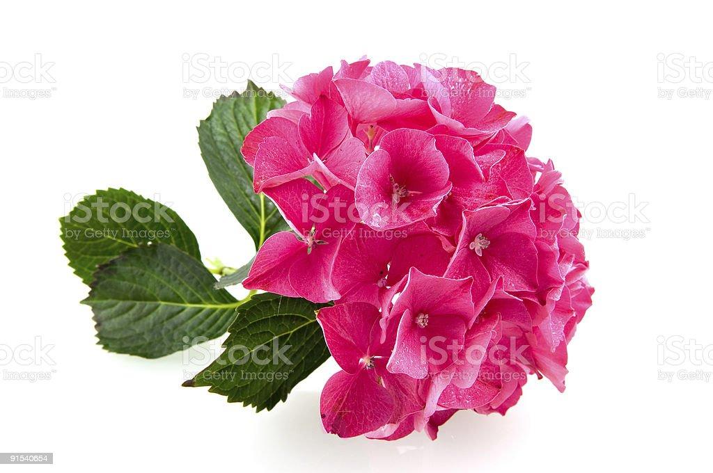 Rose hortensia hortensia photo libre de droits