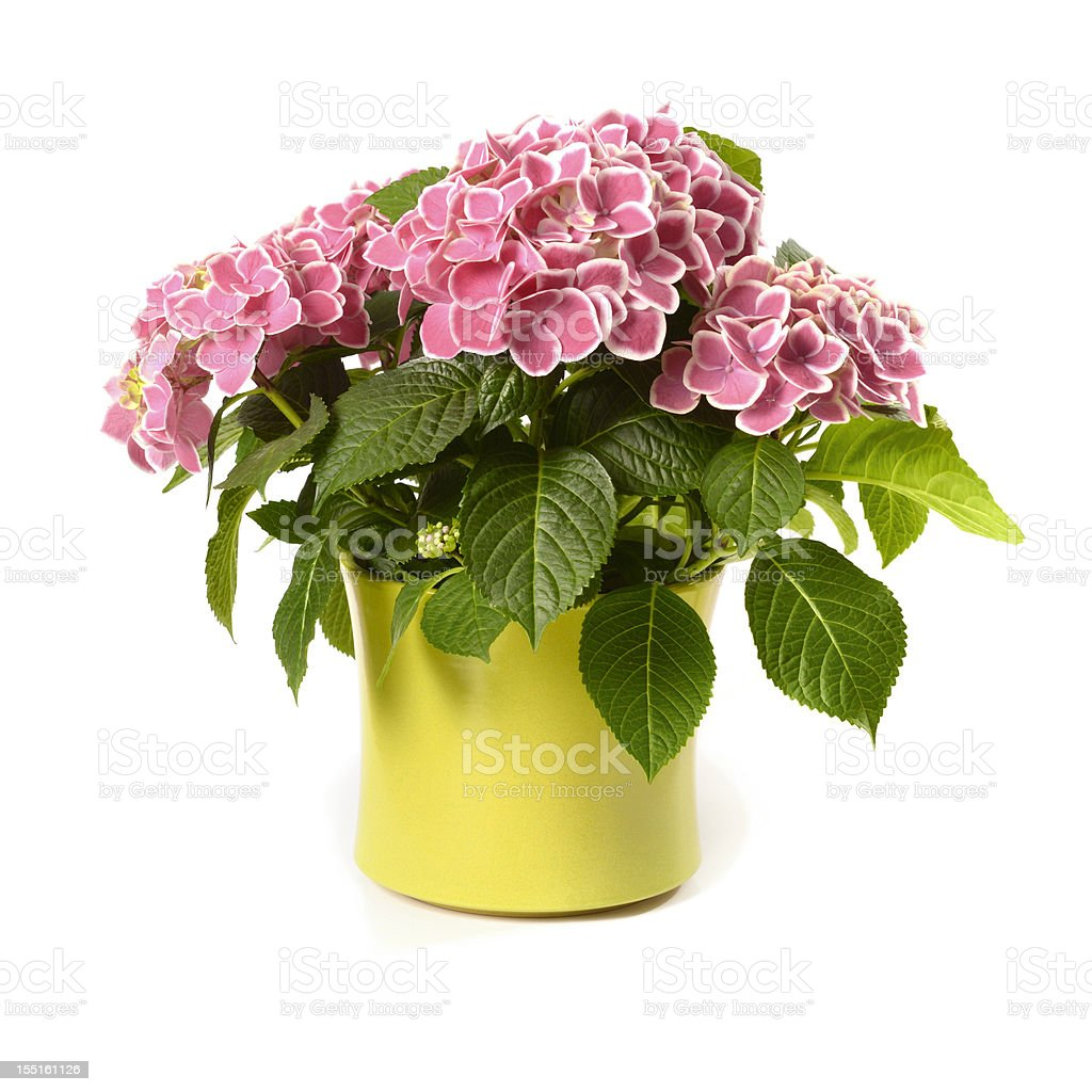 Pink Hydrangea in yellow pot isolated on white stock photo