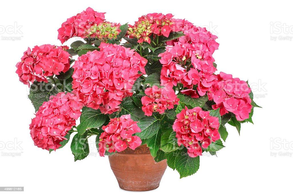 Pink hydrangea, isolated stock photo
