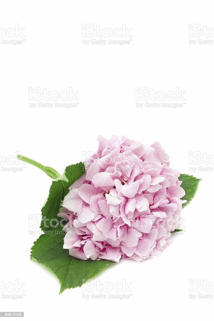 Pink hydrangea royalty-free stock photo