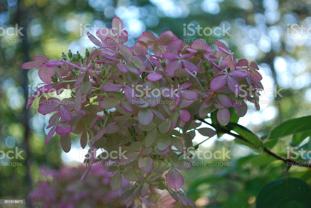 Pink hydrangeas in bloom stock photo