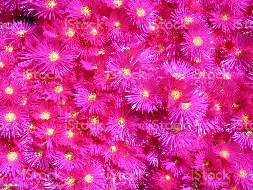 Rosa iceflowers Mesembrianthemum Criniflorum foto de stock libre de derechos