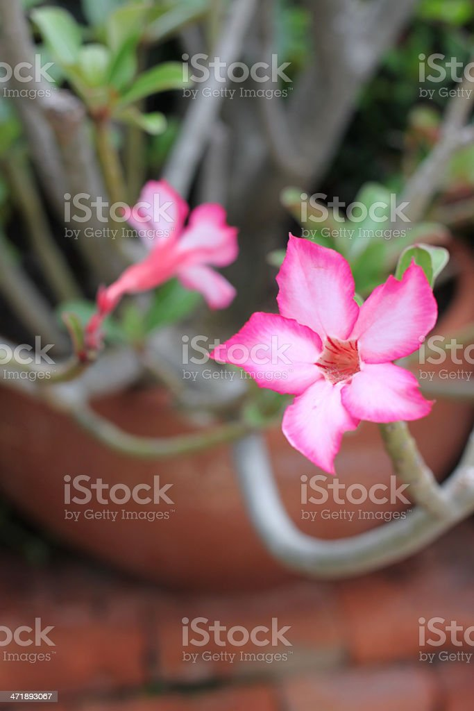 Pink impala lily royalty-free stock photo