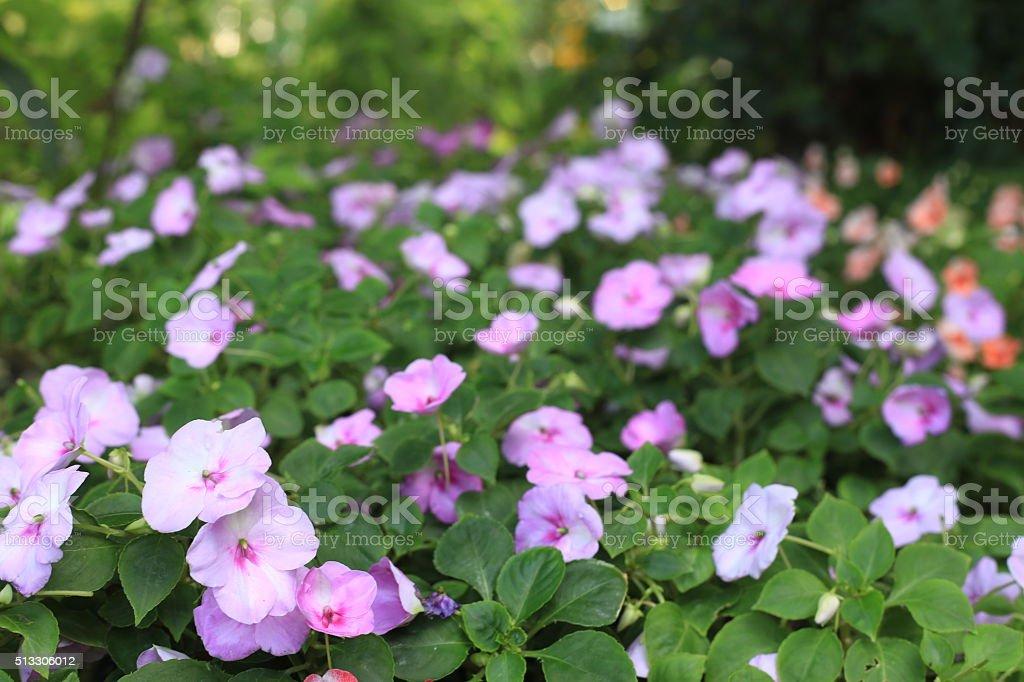 Pink impatiens flowers stock photo
