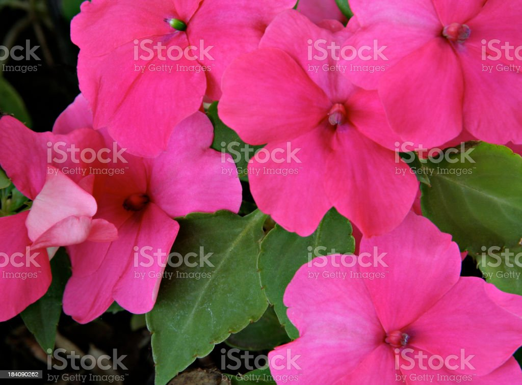 Pink Impatiens Horizontal royalty-free stock photo