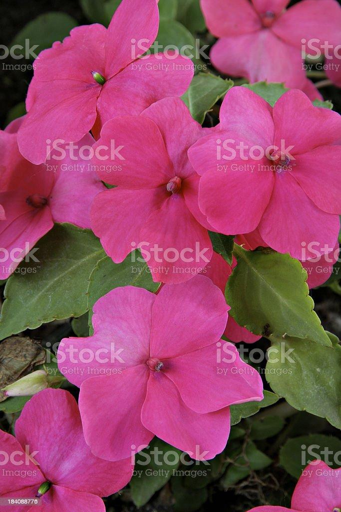 Pink Impatiens Vertical stock photo