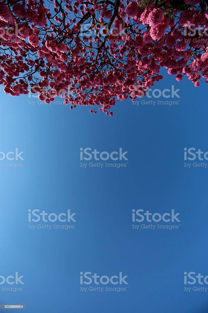 Pink Ipe Tree stock photo