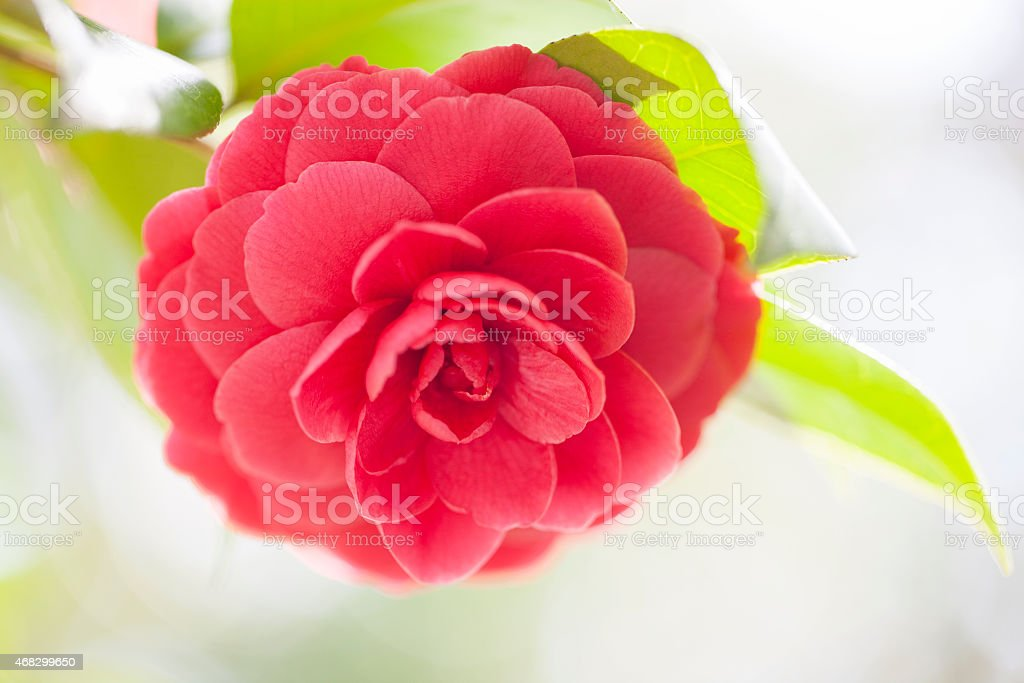 Pink Japanese camellia flower stock photo