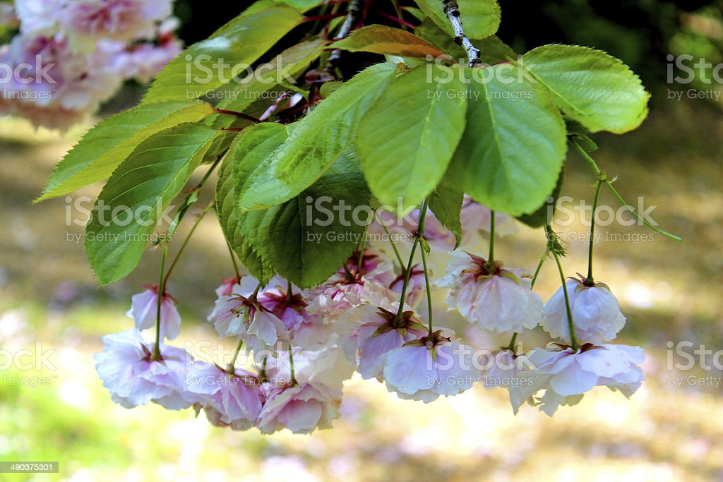Pink Japanese cherry flowers (Prunus) with blossoms hanging beneath leaves royalty-free stock photo