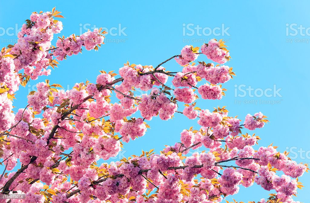 Pink  'Japanese flowering cherry'  blossom stock photo