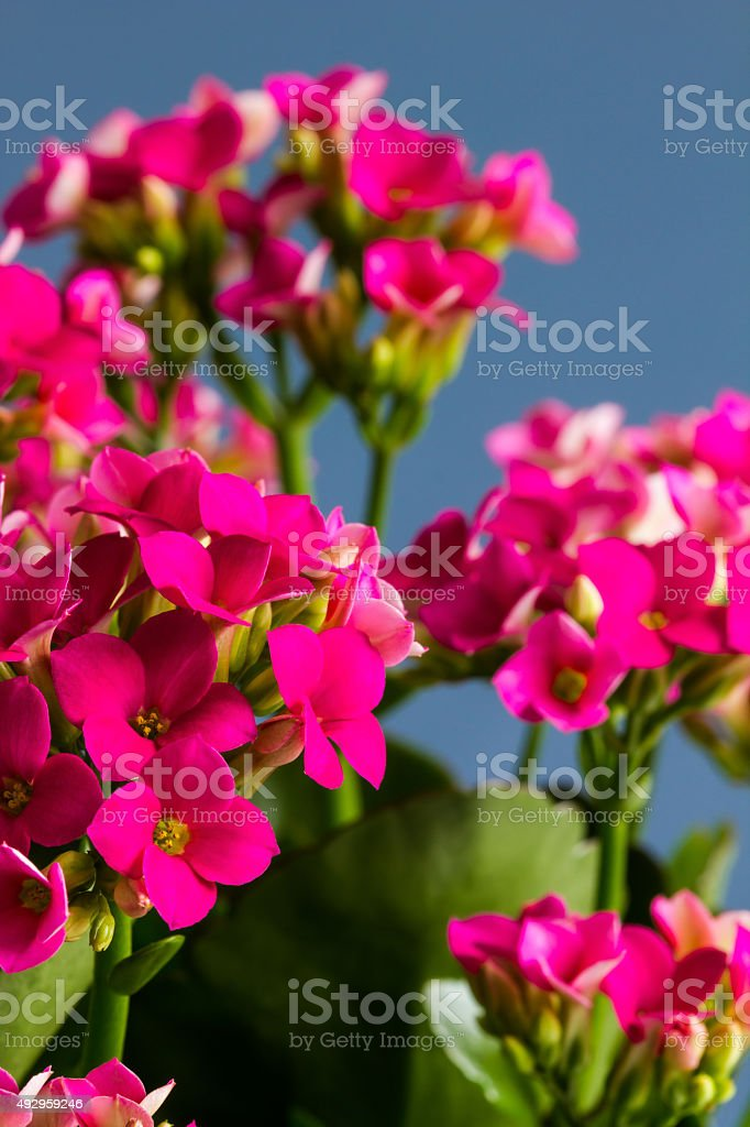 Pink kalanchoe flowers against a blue background with copy-space, vertical stock photo