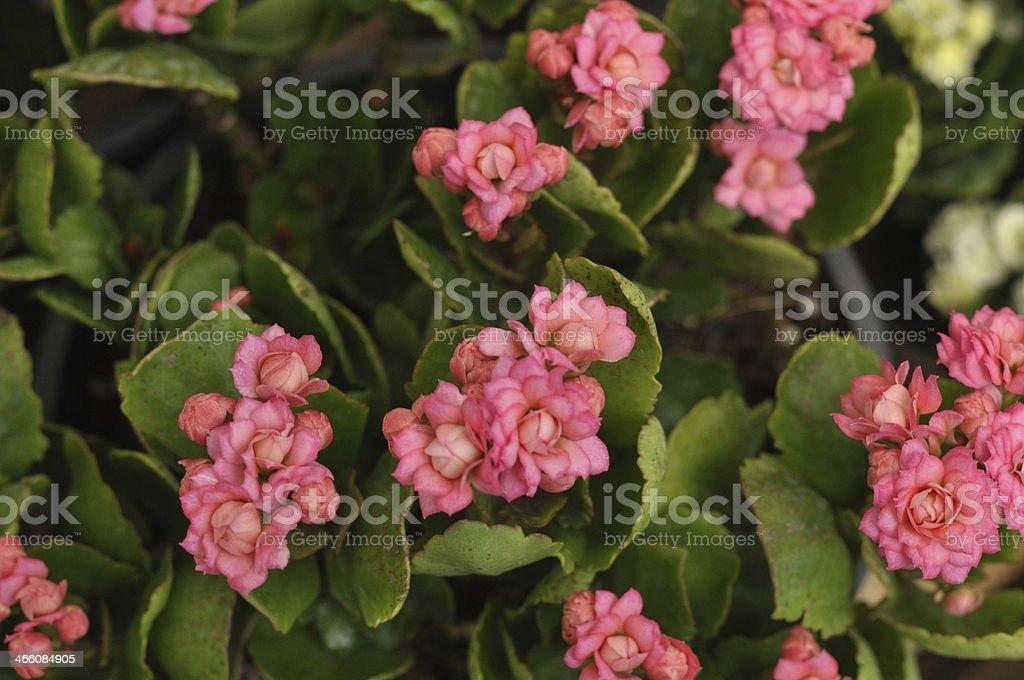 pink kalanchoe flowers stock photo