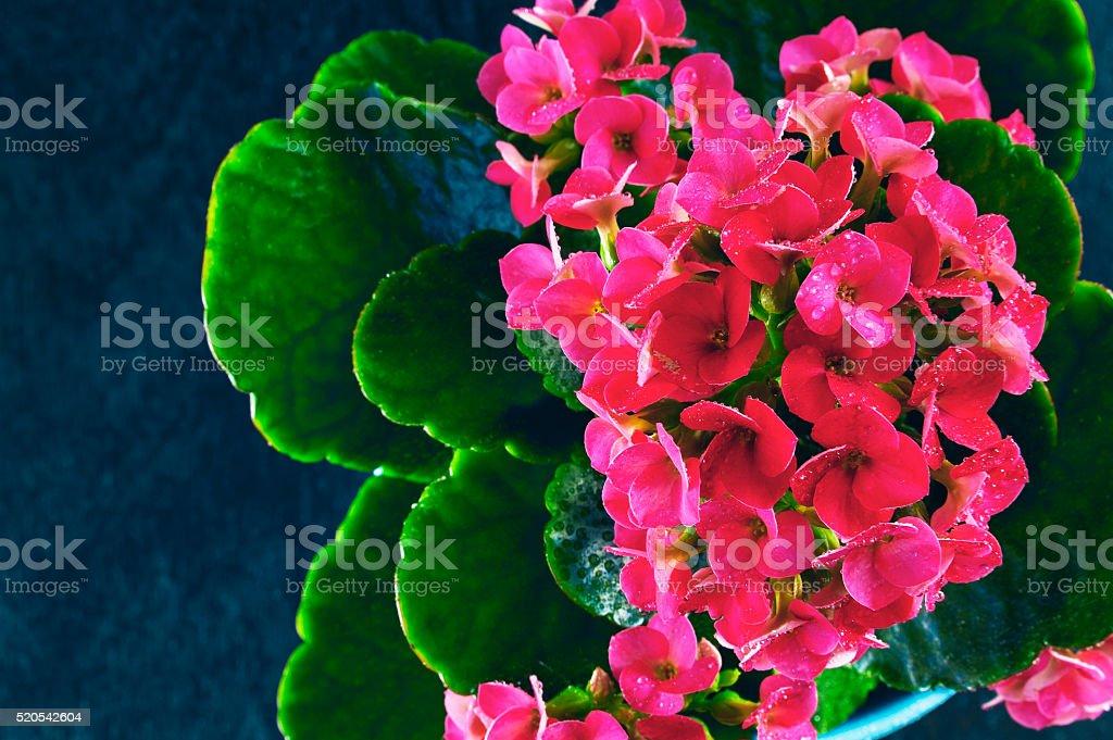 Pink kalanchoe on a blue background stock photo