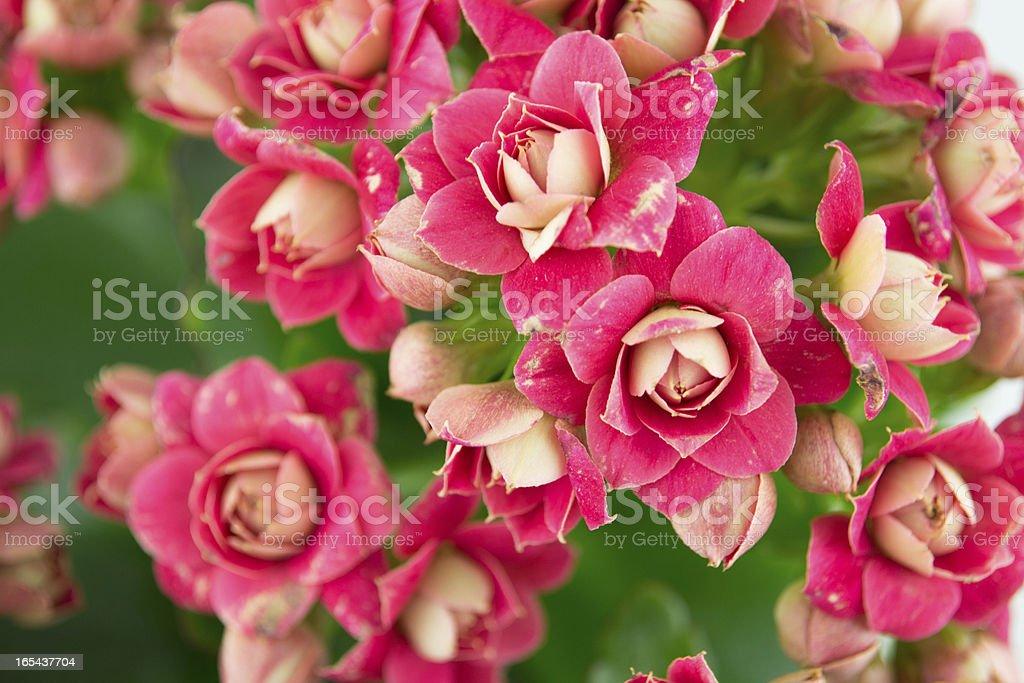 Pink kalanchoe royalty-free stock photo