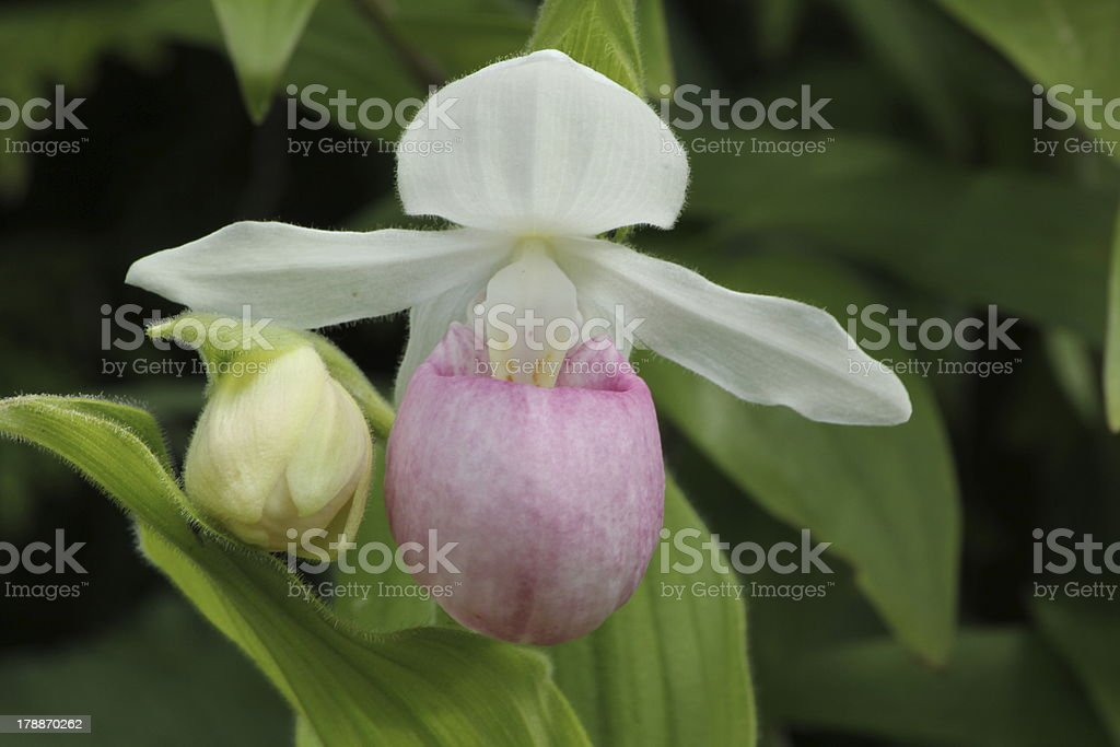 Pink Lady's Slipper, K?nigin Frauenschuh, Cypripedium reginae, Orchid royalty-free stock photo