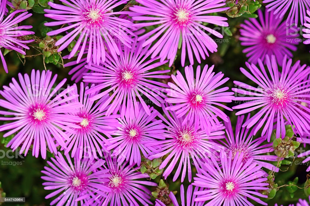 Pink Lampranthus flower stock photo