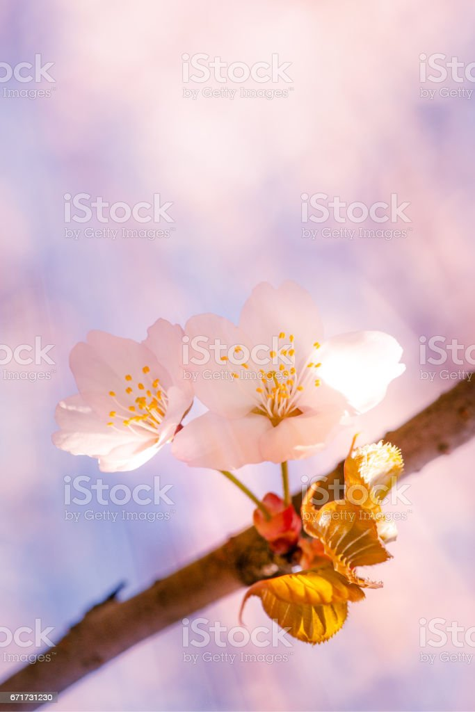 Pink light of spring stock photo