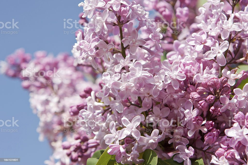 Pink lilac royalty-free stock photo
