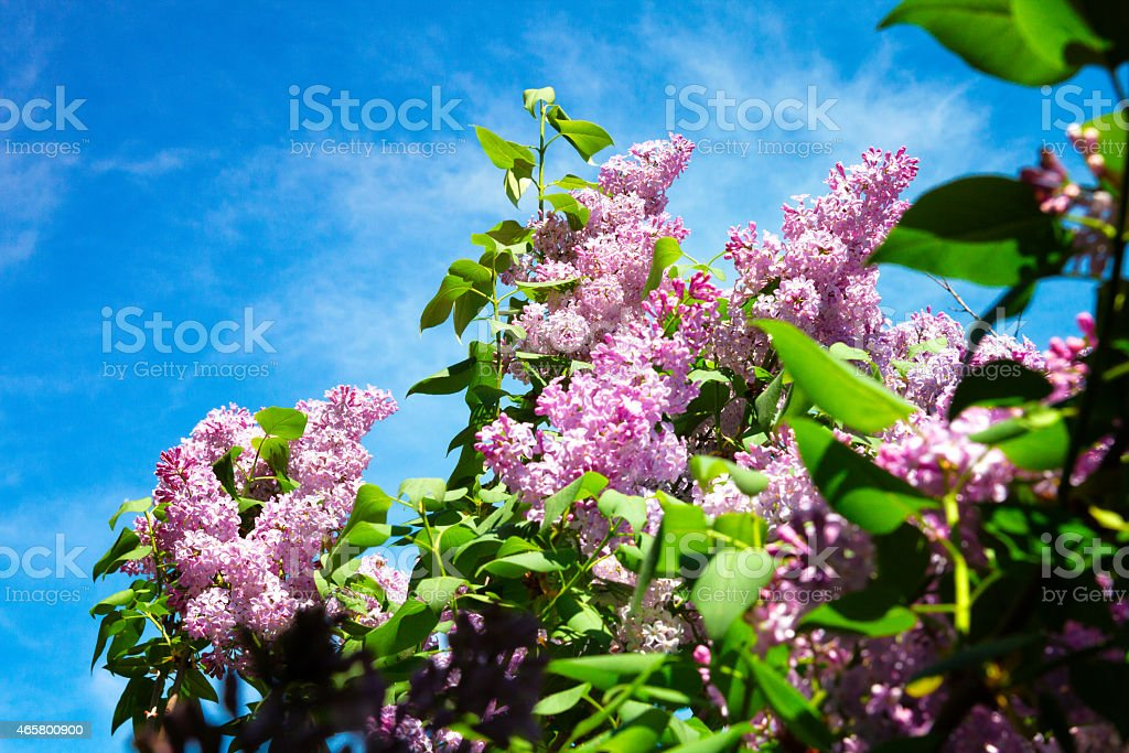 Pink Lilacs and Springtime in Provence, France stock photo