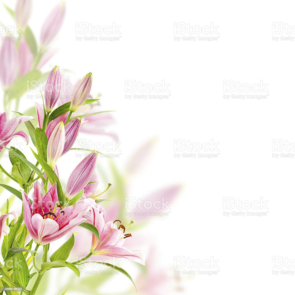 Pink lilies fade into white background stock photo