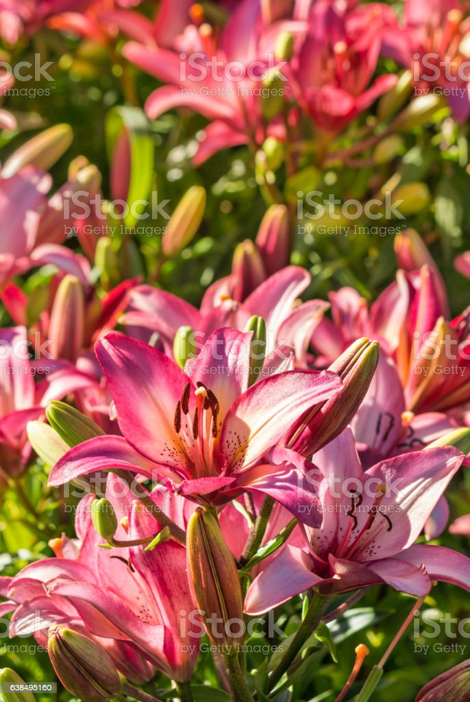 pink lilies in bloom growing in garden stock photo
