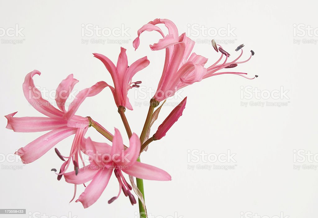 pink lilies isolated on white background royalty-free stock photo