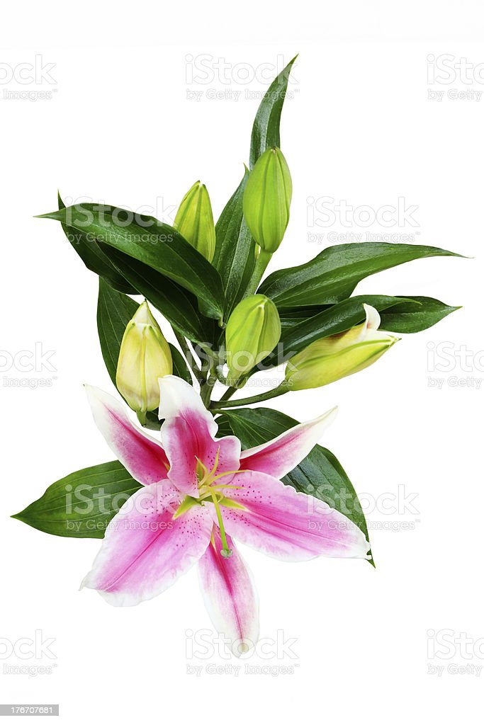 Pink Lilly stock photo