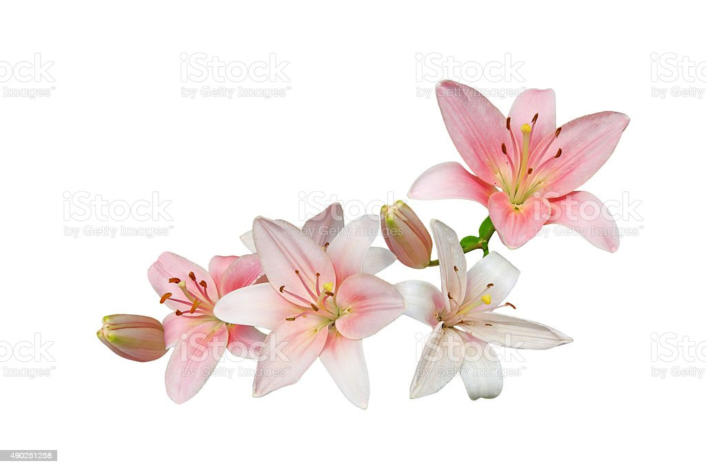 Pink Lily Bouquet stock photo