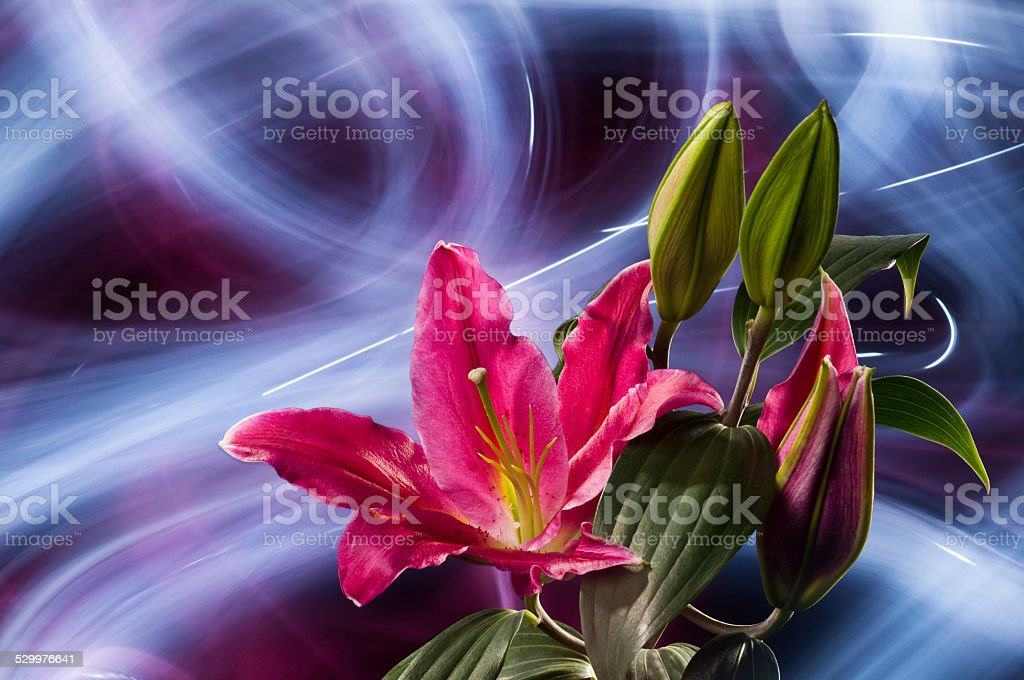 Pink lily flower with abstract light painting background stock photo