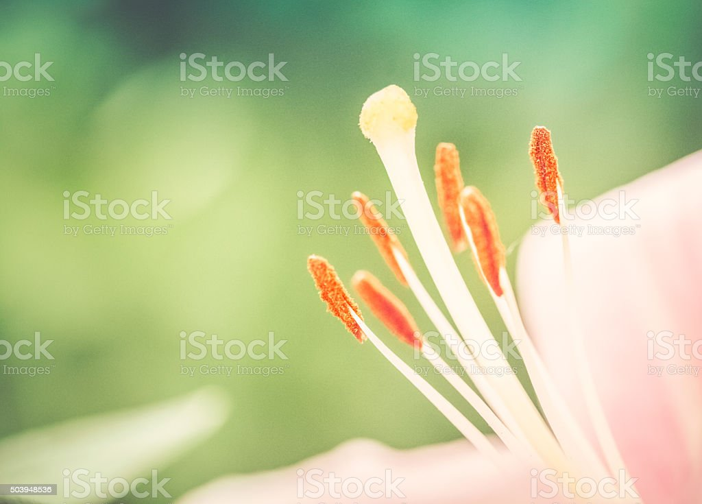 Pink Lily Flower With Anthers & Stamen Closeup stock photo