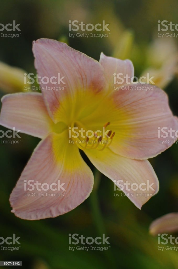 Pink lily Glenville stock photo