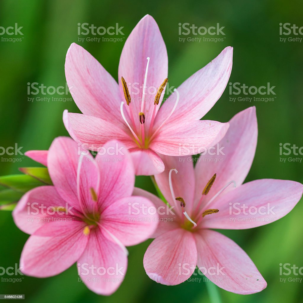 Pink Lily Group stock photo
