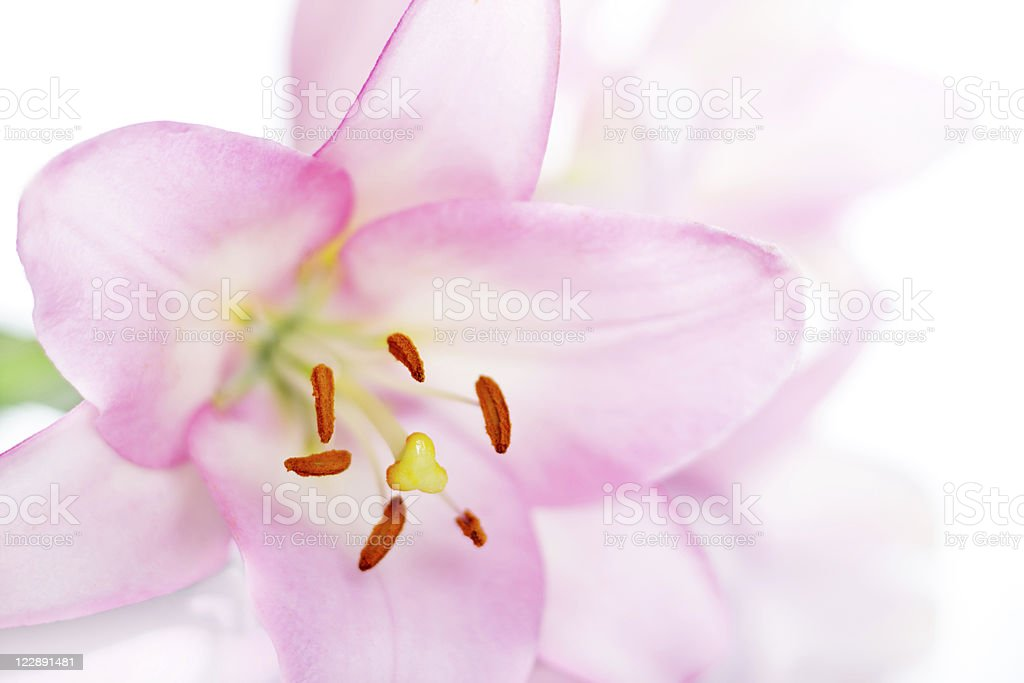 Pink Lily isolated on white royalty-free stock photo