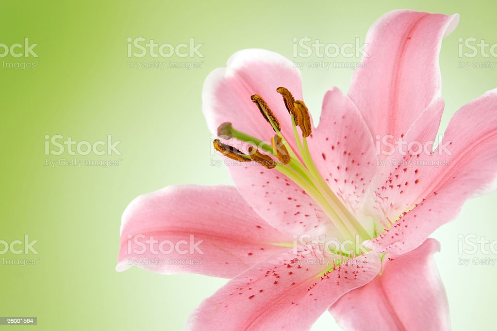 Pink lily on green royalty-free stock photo