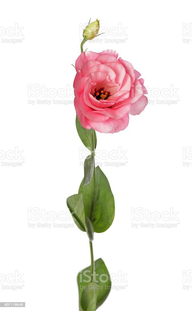 Pink lisianthus flower stock photo