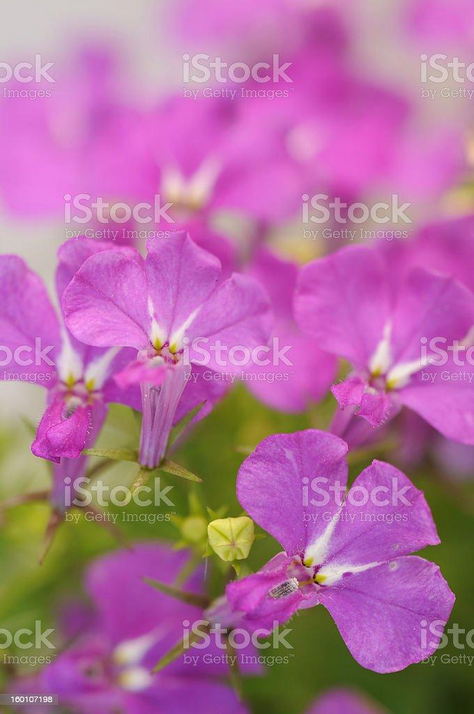 Pink lobelia stock photo