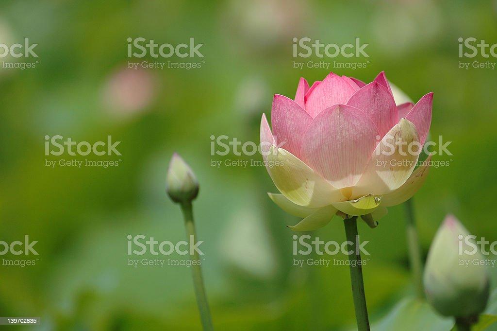 Pink lotus 1 royalty-free stock photo
