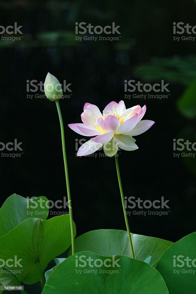 pink lotus and bud on black background royalty-free stock photo